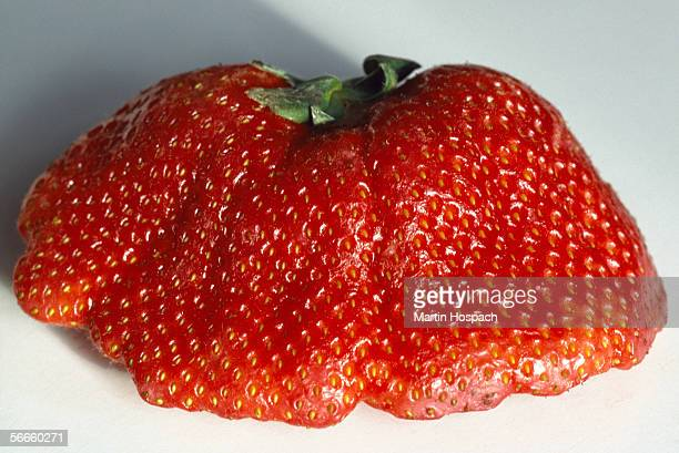 Close up of a large, deformed strawberry
