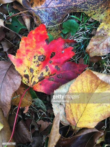 Close up of a leaf turning color during Fall foliage