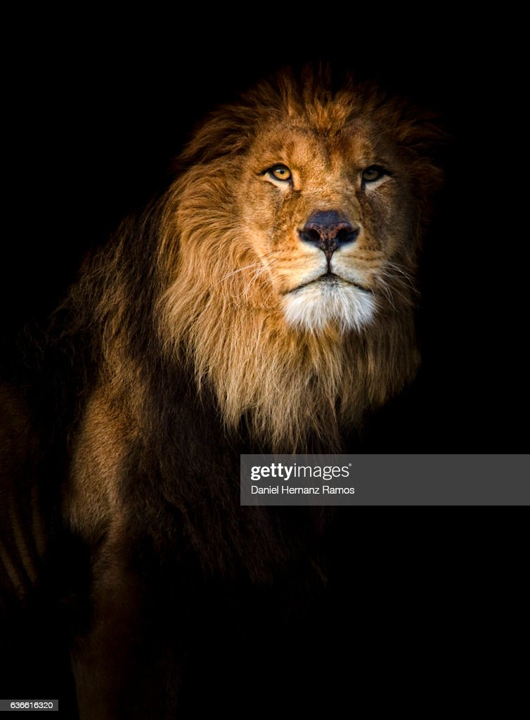 lion stock photos and pictures getty images