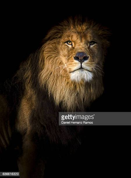 Close up of a lion portrait looking at camera with back background.