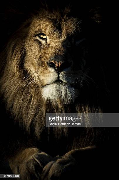 close up of a lion portrait looking at camera with back background. - lion feline stock pictures, royalty-free photos & images