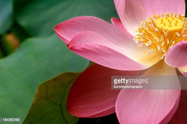 a close up of a macro lotus flower - water lily stock photos and pictures