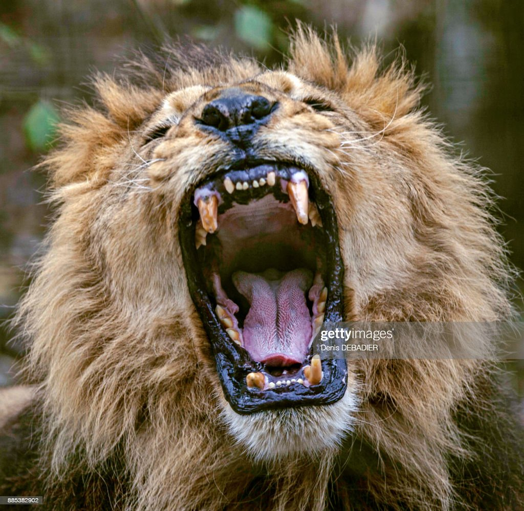 Close up of a male African Lion howling open mouth : Stock Photo