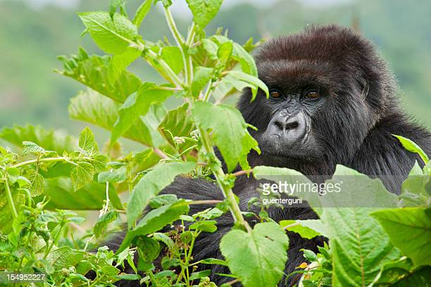 close up of a male mountain gorilla, wildlife shot