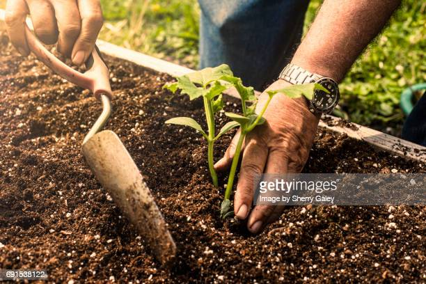close up of a man using a trowel to plant a small cucumber plant - gemüsegarten stock-fotos und bilder