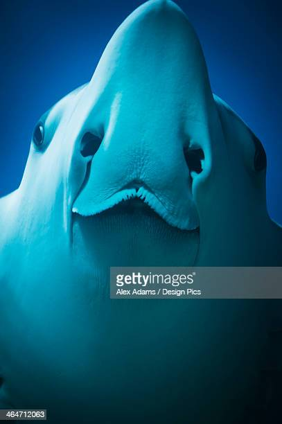 close up of a manta ray - big nose stock photos and pictures