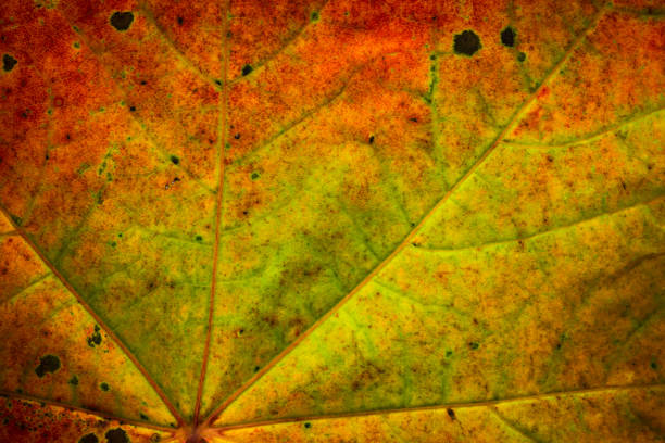 Close up of a maple leaf with autumn colors