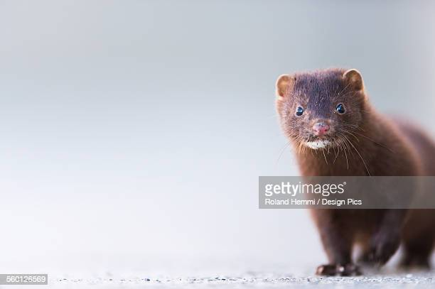 close up of a mink (neovison vison) - mink animal stock pictures, royalty-free photos & images