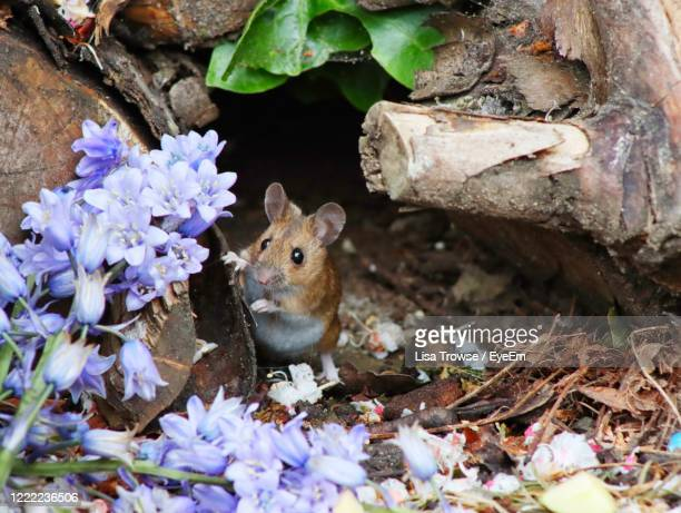 close up of a mouse - esher stock pictures, royalty-free photos & images