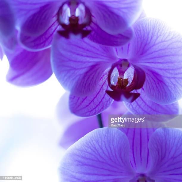 close up of a orchid / phalaenopsis - ラン ストックフォトと画像