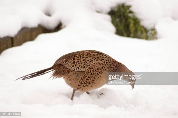 close up of a pheasant on snow - land stock pictures, royalty-free photos & images