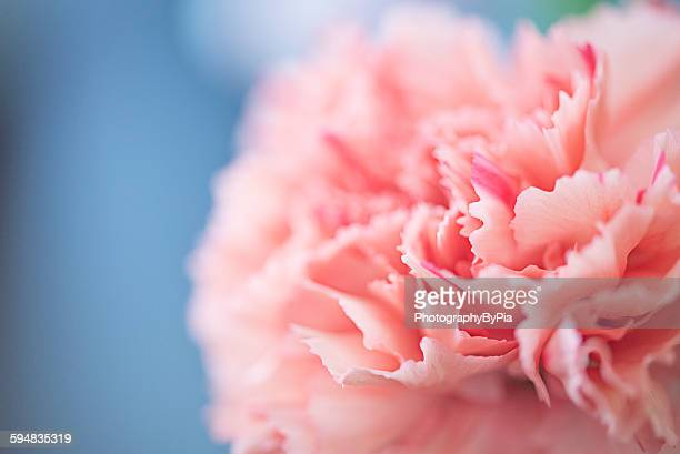 close up of a pink carnation flower - carnation flower stock pictures, royalty-free photos & images