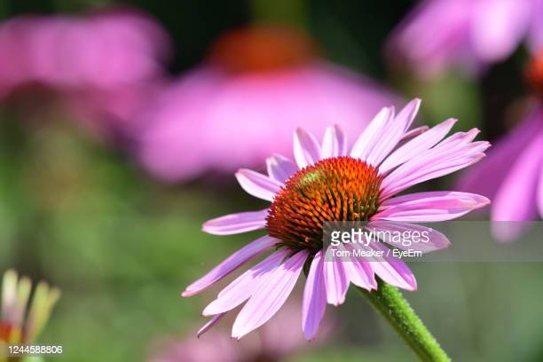 close up of a pink echinacea flower in bloom - taunton somerset stock pictures, royalty-free photos & images