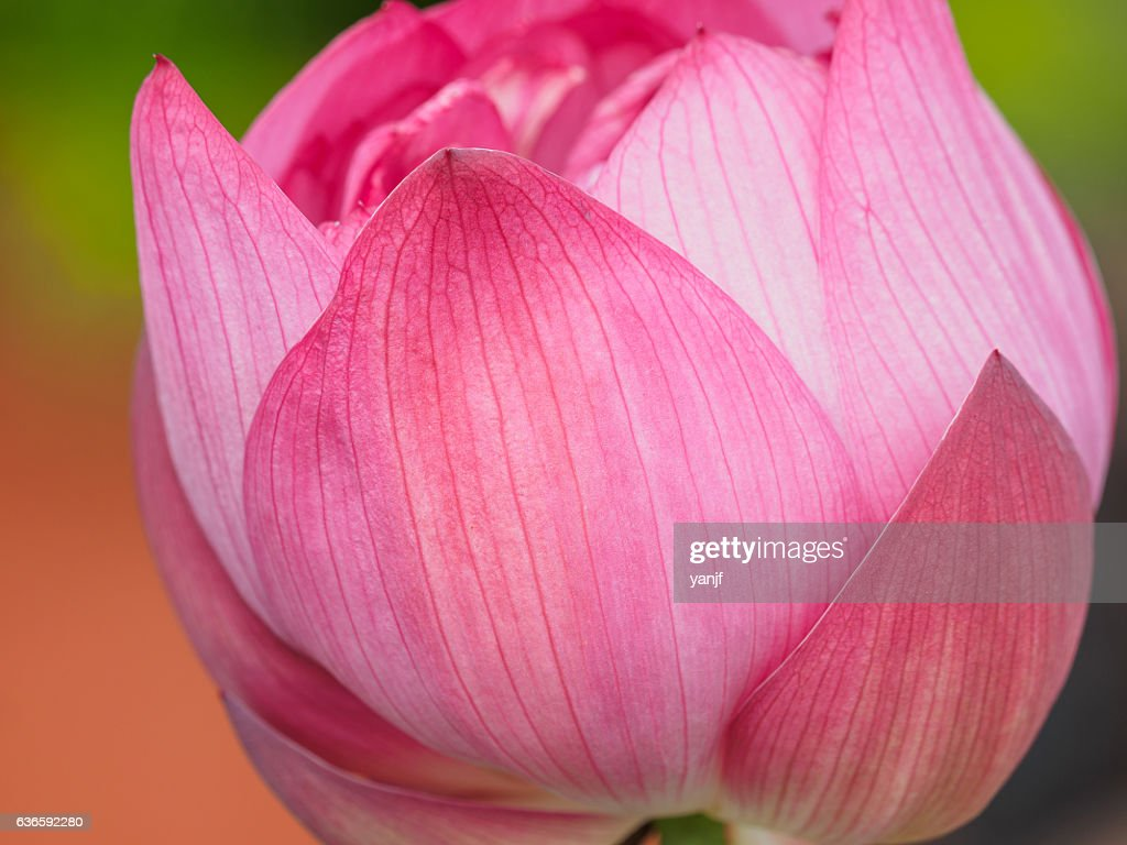 Close up of a pink lotus flower bud stock photo getty images close up of a pink lotus flower bud stock photo izmirmasajfo