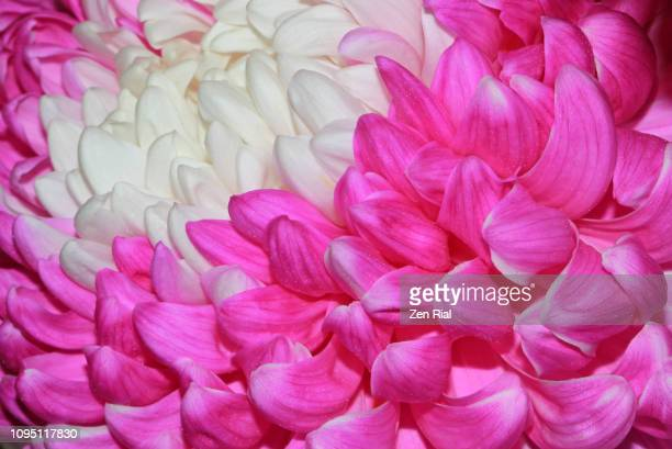 close up of a pink with white center chrysanthemum flower also called mums - hot pink stock photos and pictures