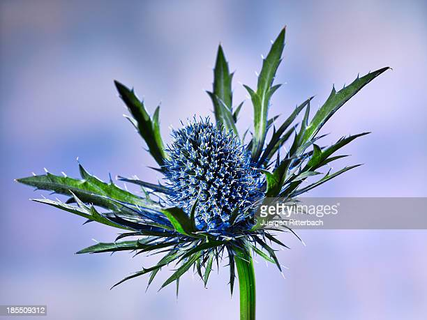 close up of a prickly  blue thistle blossom flower