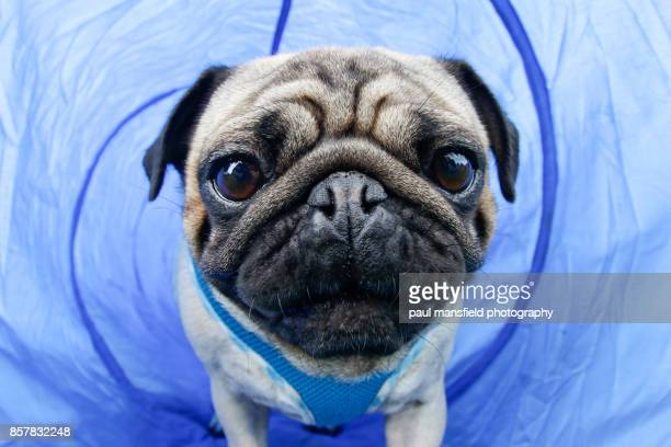 Close up of a pug walking through a blue tunnel
