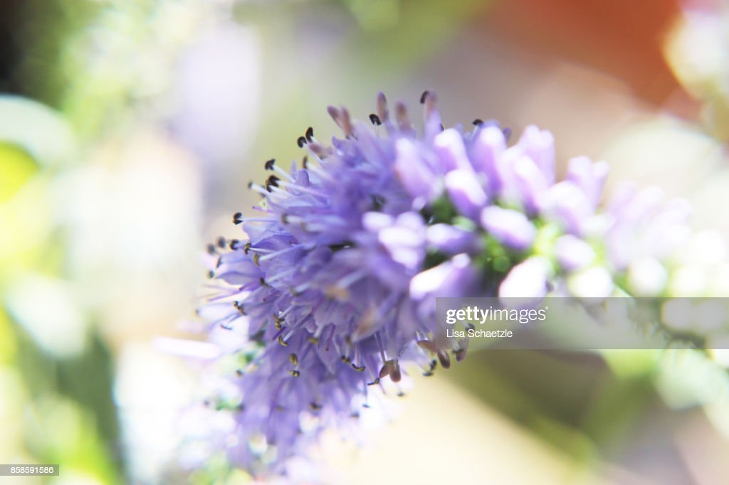 Close Up of a purple flower : Stock-Foto
