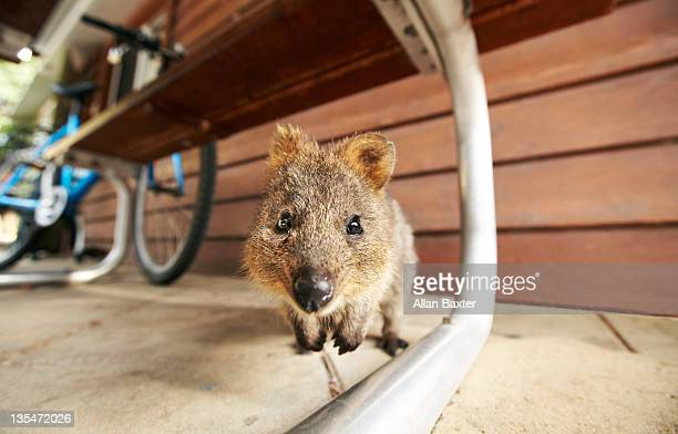 Close up of a Quokka