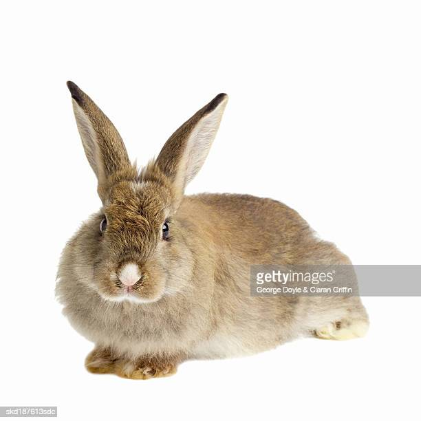 close up of a rabbit - domestic animals stock photos and pictures