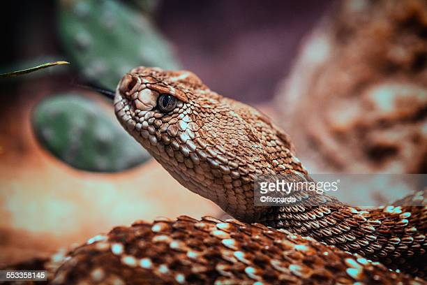 Close up of a Rattle snake
