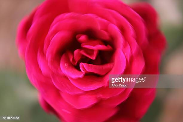 Close up of a red rose. Movement.