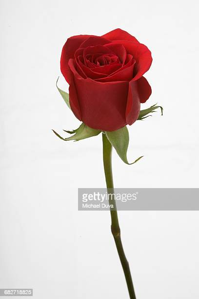 close up of a red rose with stem on white