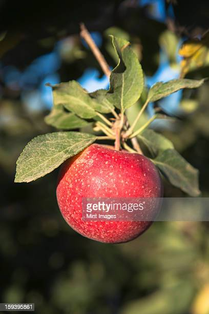 Close up of a red skinned Gala apple on a tree.