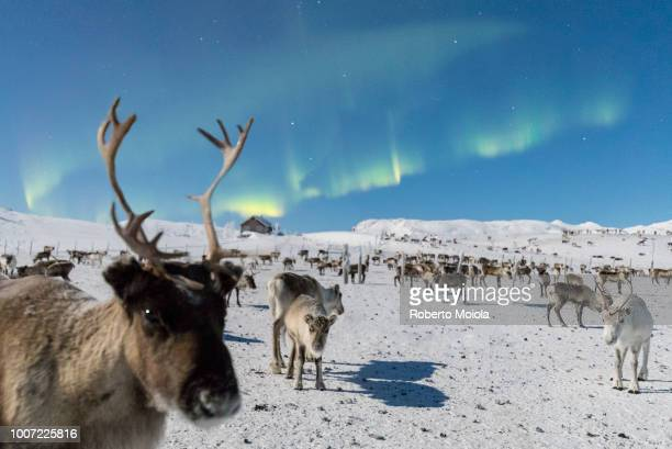 close up of a reindeer under the northern lights (aurora borealis), abisko, kiruna municipality, norrbotten county, lapland, sweden, scandinavia, europe - norrbotten province stock photos and pictures