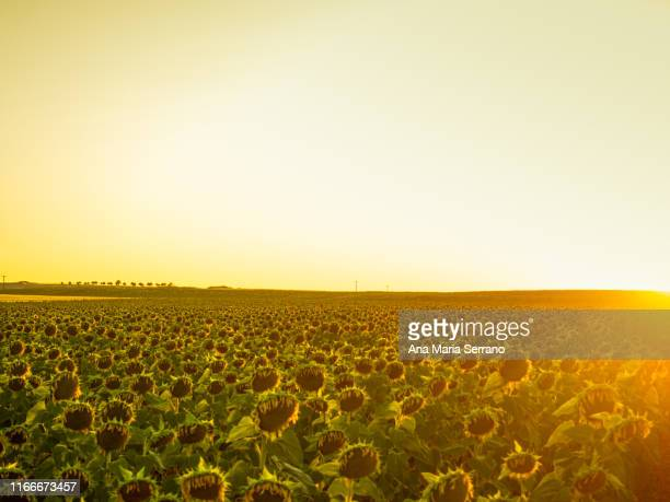close up of a ripe sunflowers (helianthus annuus) field at sunset in summer. retro style edition - castilla leon fotografías e imágenes de stock