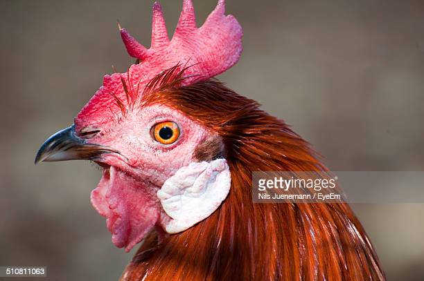 close up of a rooster head - earlobe stock photos and pictures