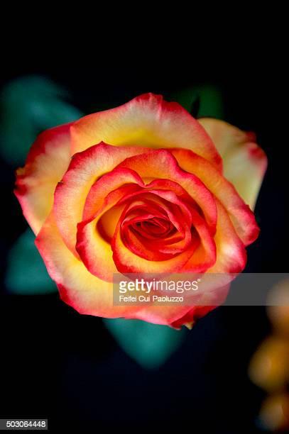 Close up of a rose flower head at Bern City Switzerland