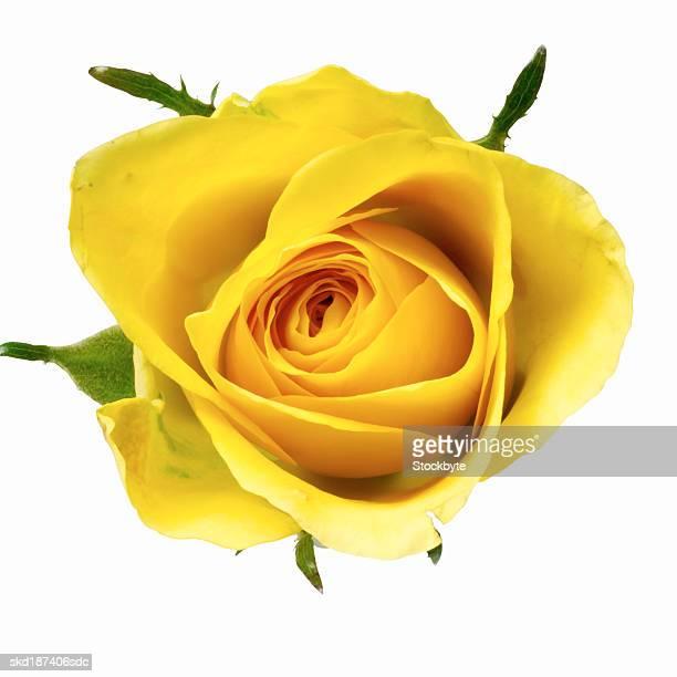 Close up of a rose