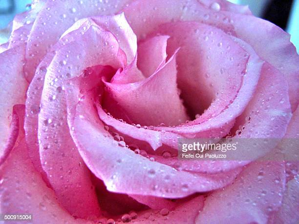 close up of a rose with water drops - rose fleur stock photos and pictures