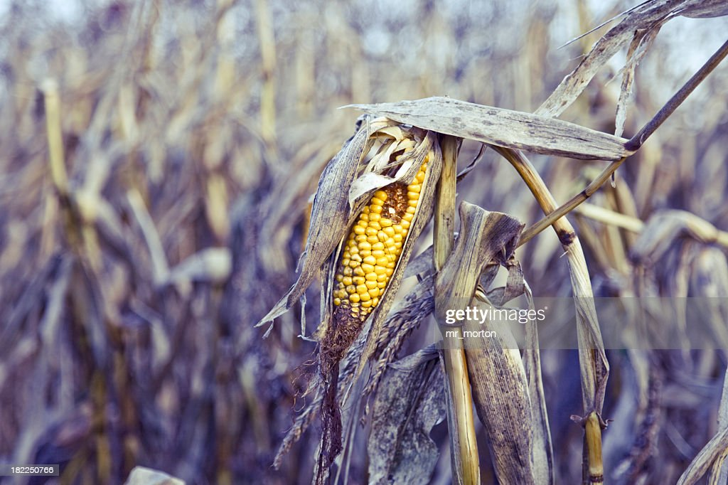 Close up of a rotten corn in the middle : Stock Photo