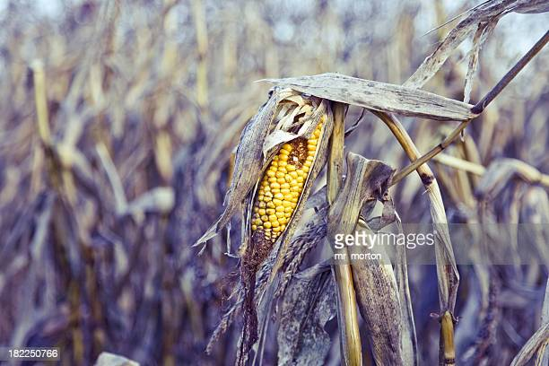 Close up of a rotten corn in the middle