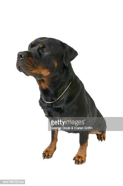 Close up of a rottweiler