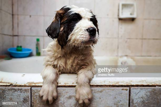 Close up of a Saint Bernard puppy in the bathtub
