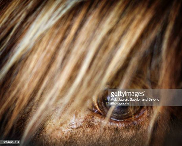 Close Up of a Scottish Highlander - Eye and Hair
