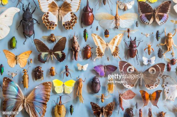 close up of a selection of colourful butterflies and beetles in a display case - insecte photos et images de collection