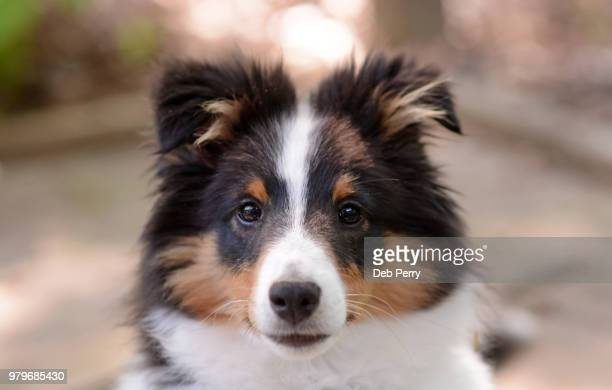 close up of a shetland sheepdog (sheltie) puppy - collie stock photos and pictures