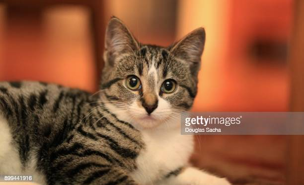 Close up of a short haired kitten with a mackerel tabby/calico coat pattern (Felis catus)