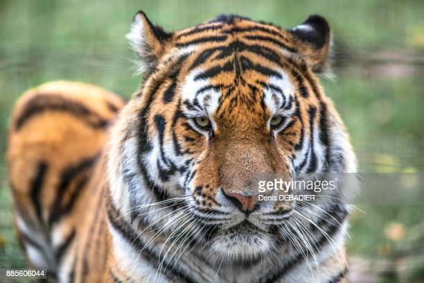 close up of a siberian tiger - big cat stock pictures, royalty-free photos & images
