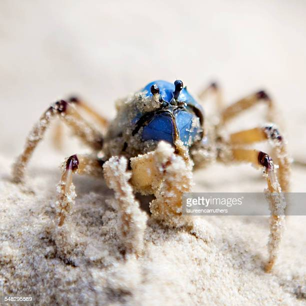 Close up of a soldier crab in the sand, Fraser Island, Australia