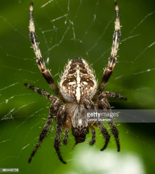 close up of a spider on a web. - ニワオニグモ ストックフォトと画像