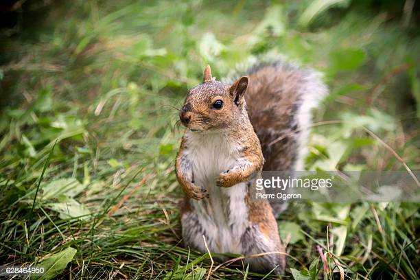 close up of a squirrel in a park - eastern gray squirrel stock photos and pictures