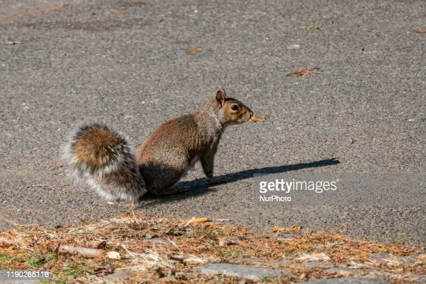 Close up of a Squirrel in Central Park in Manhattan, New York City. The beautiful and cute small fluffy animal, the grey squirrels are a symbol of...