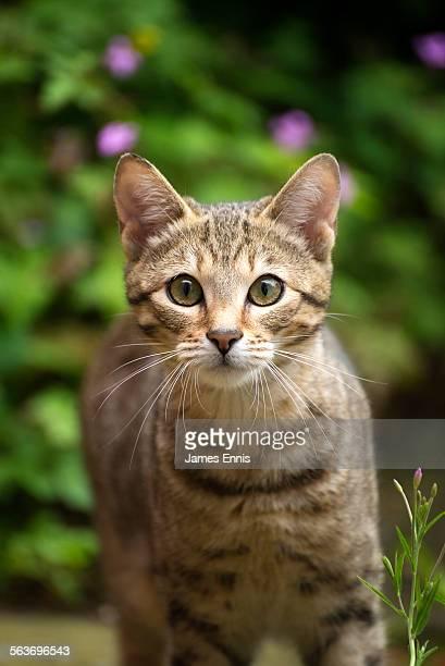 Close up of a tabby Kitten