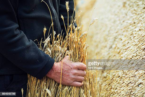 Close up of a thatcher holding a yelm of straw.