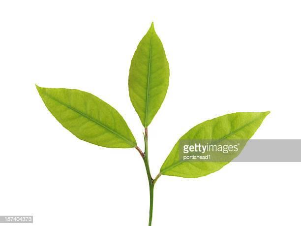 Close up of a three leaf lemon twig